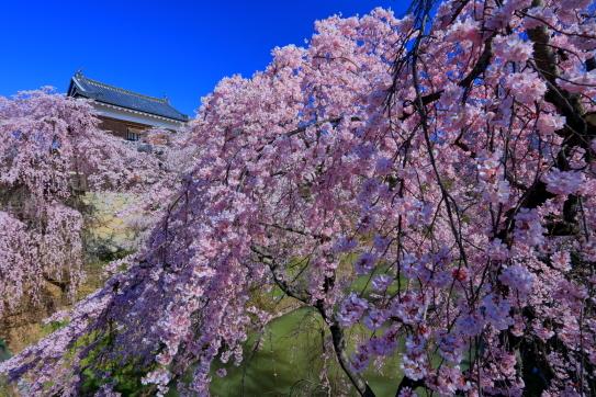 上田城址のしだれ桜