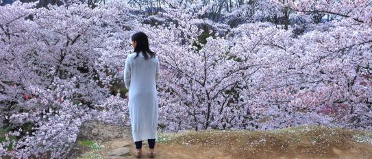 小諸古城懐古園の桜
