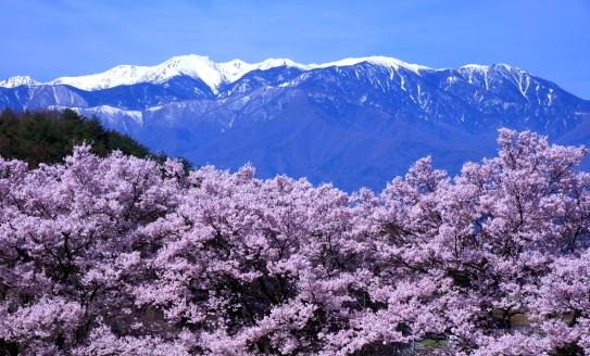 笠原の彼岸桜と西駒ヶ岳
