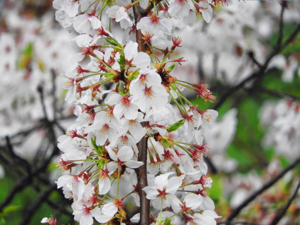 桜DSCN0709