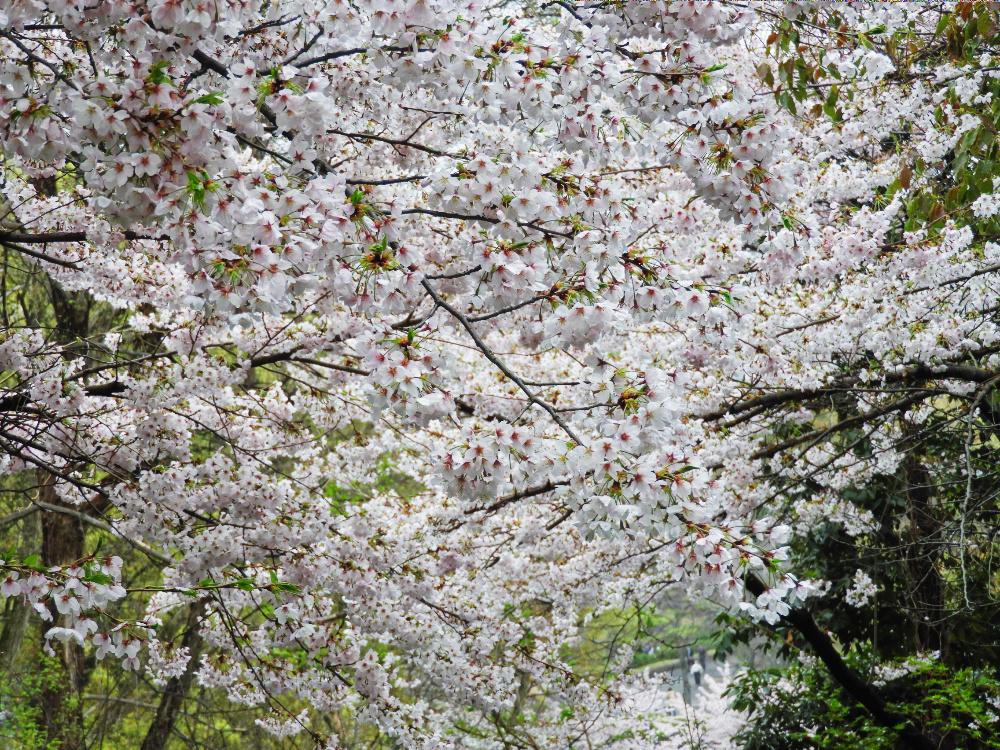 桜DSCN0750