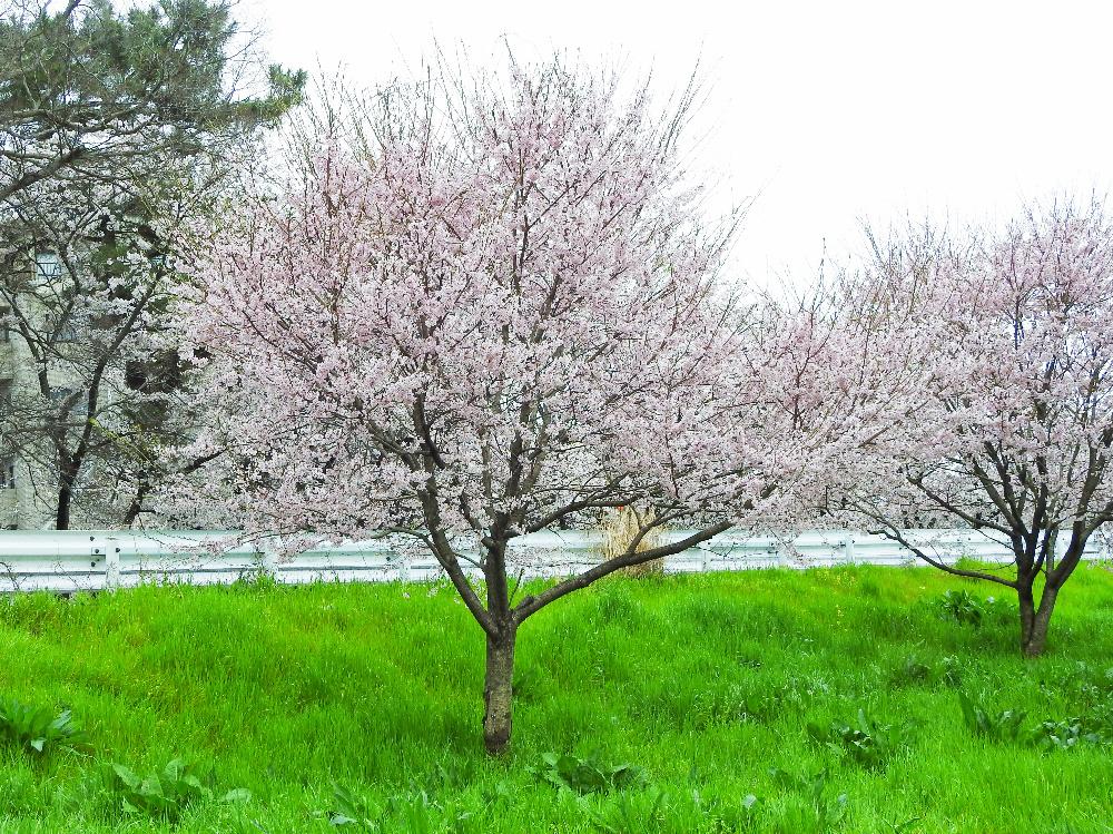 桜DSCN0909 (1)