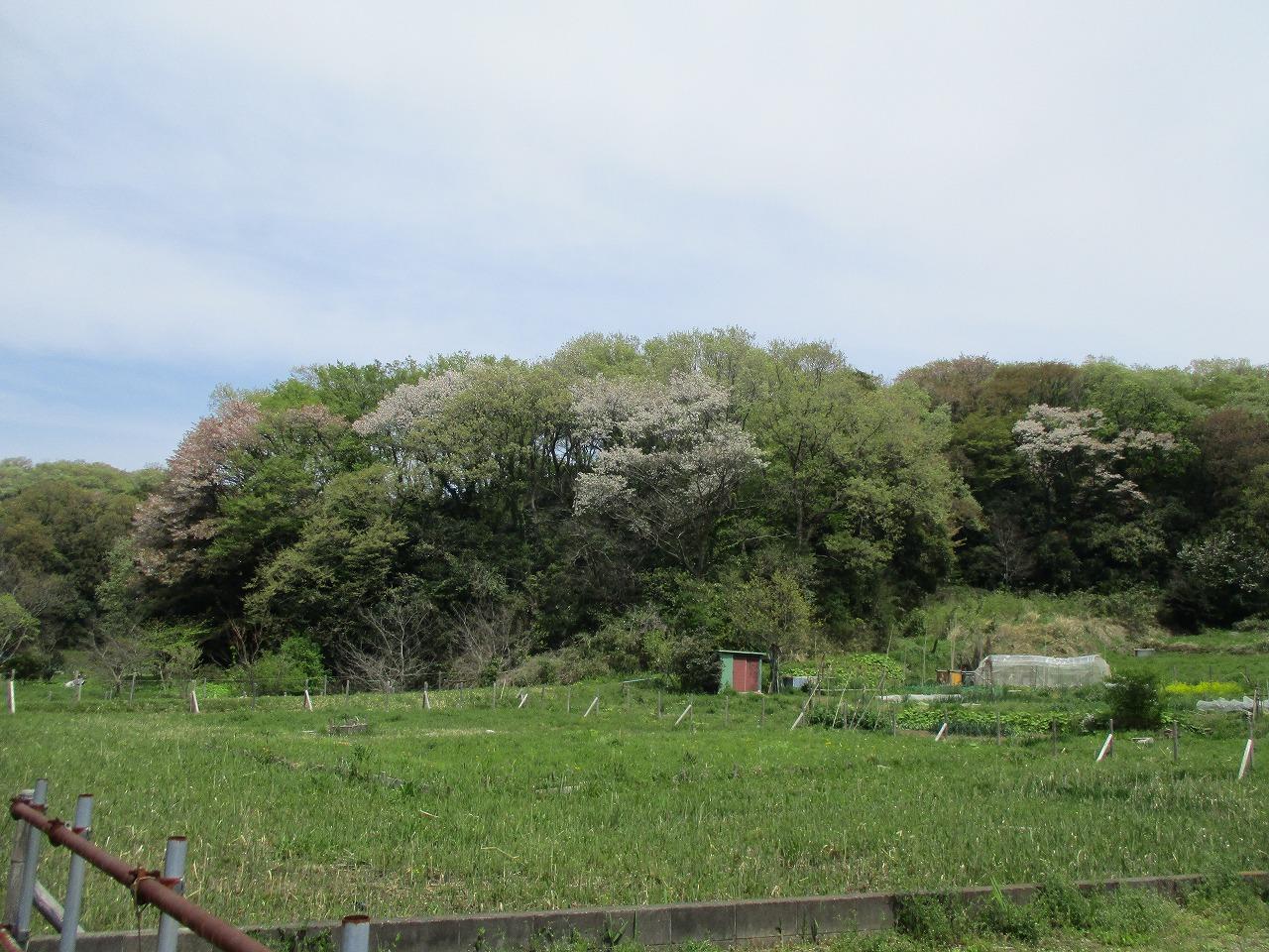 山桜は今が見ごろ(^^♪