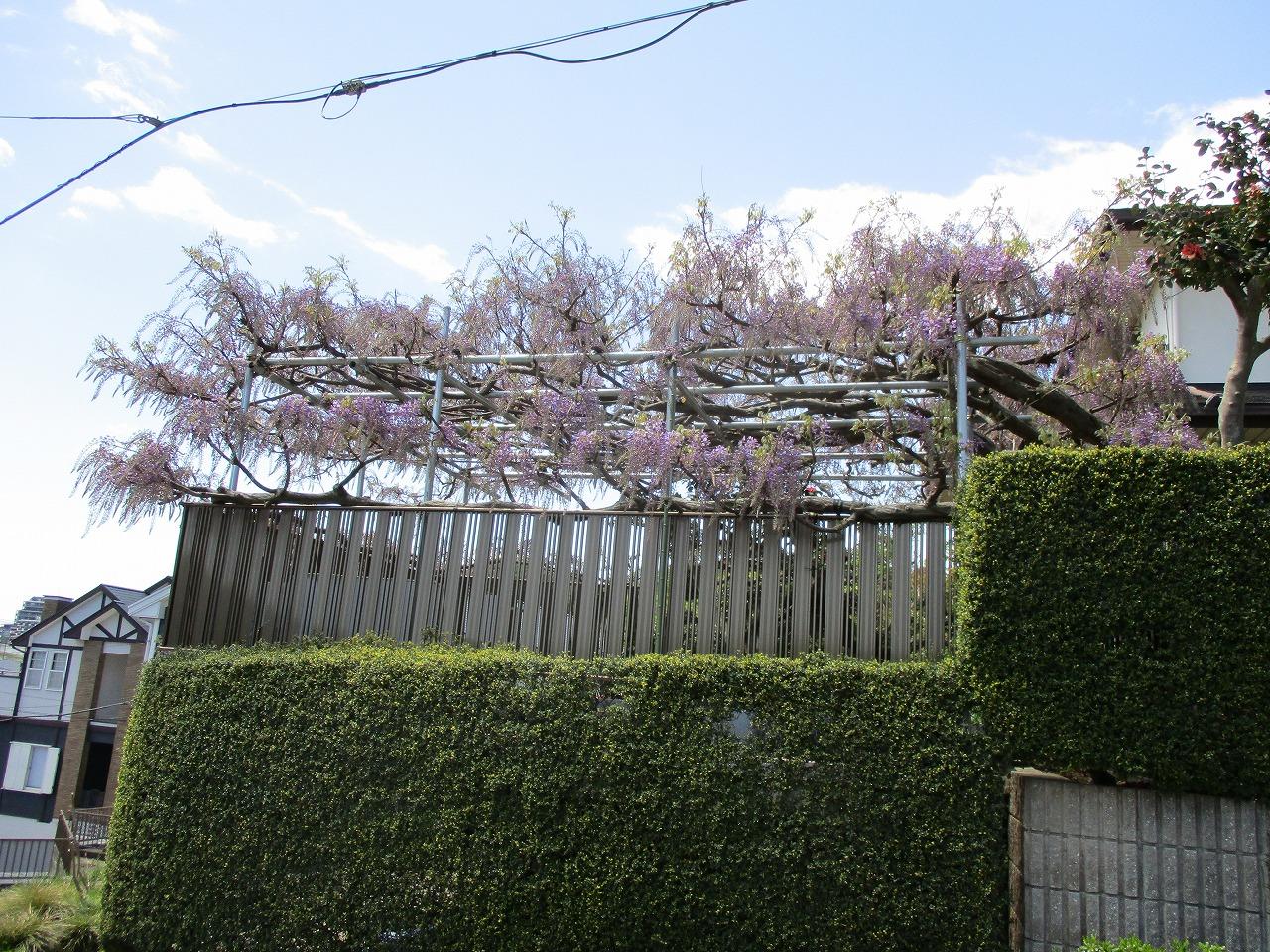 藤棚が開花し始めました