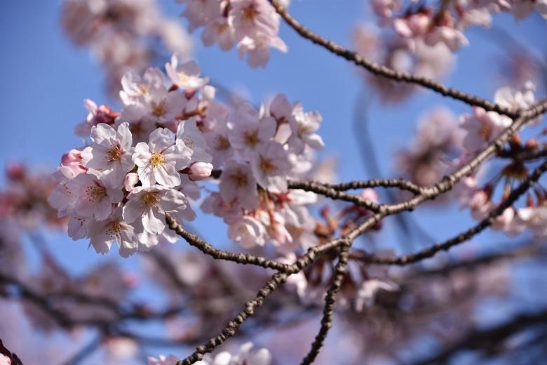 013 桜