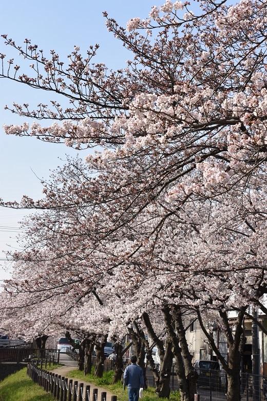 166 桜並木