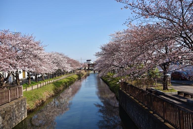 177 桜並木