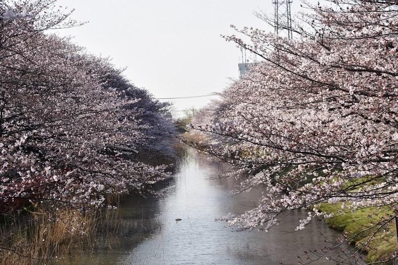 183 葛西用水桜並木