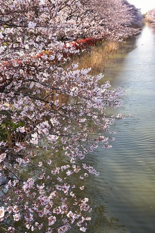 184 桜並木