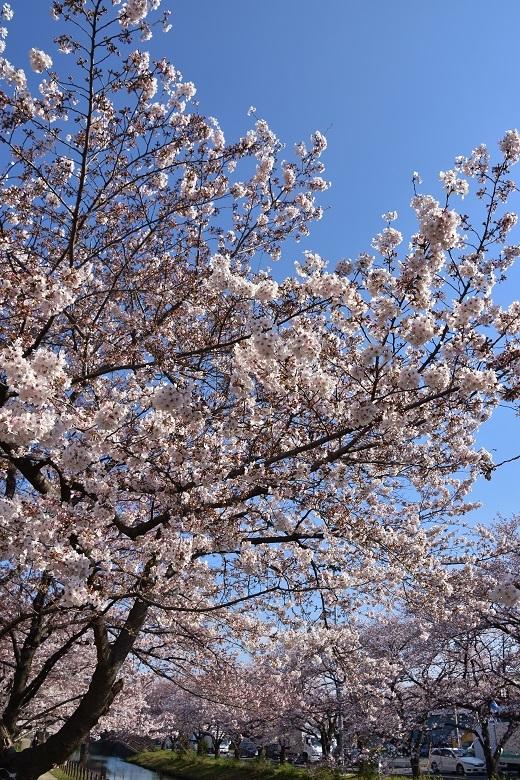 193 桜