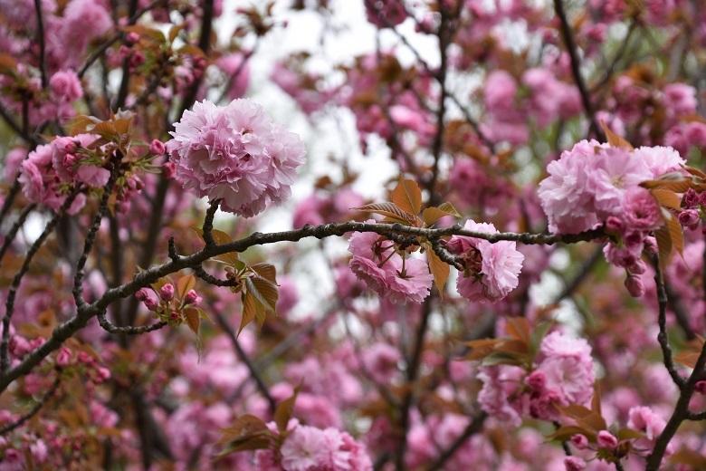777 八重桜