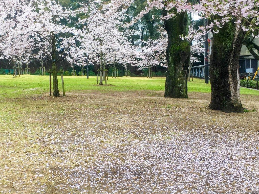 47 松山城公園の桜-2-1