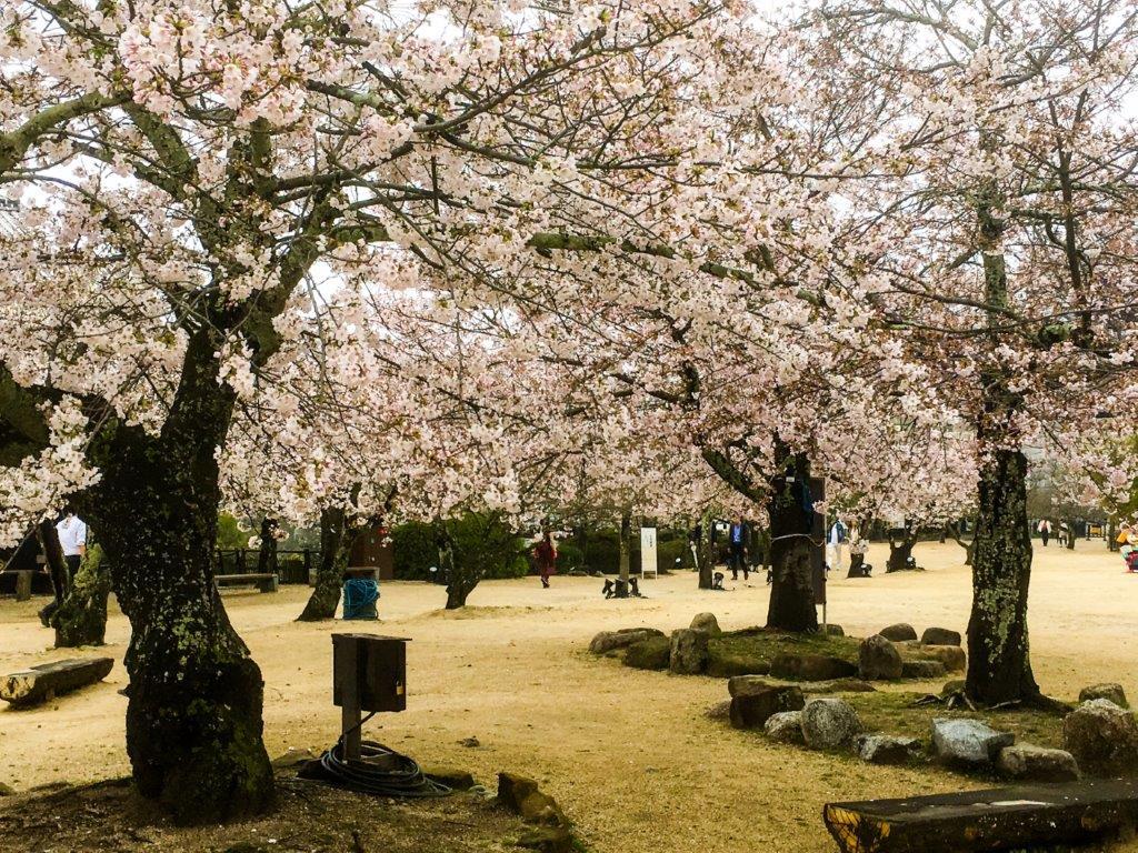 47 松山城公園の桜-6-1