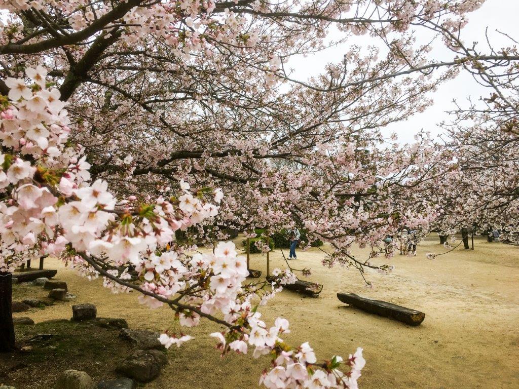 47 松山城公園の桜-7-1