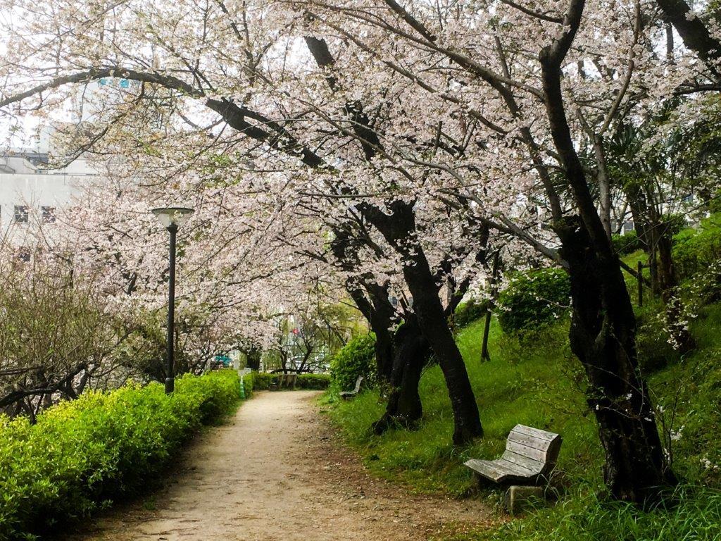 47 松山城公園の桜-8-1