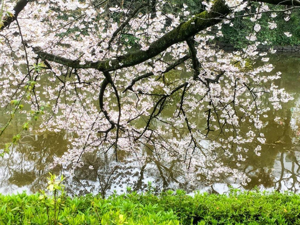 47 松山城公園の桜-9-1