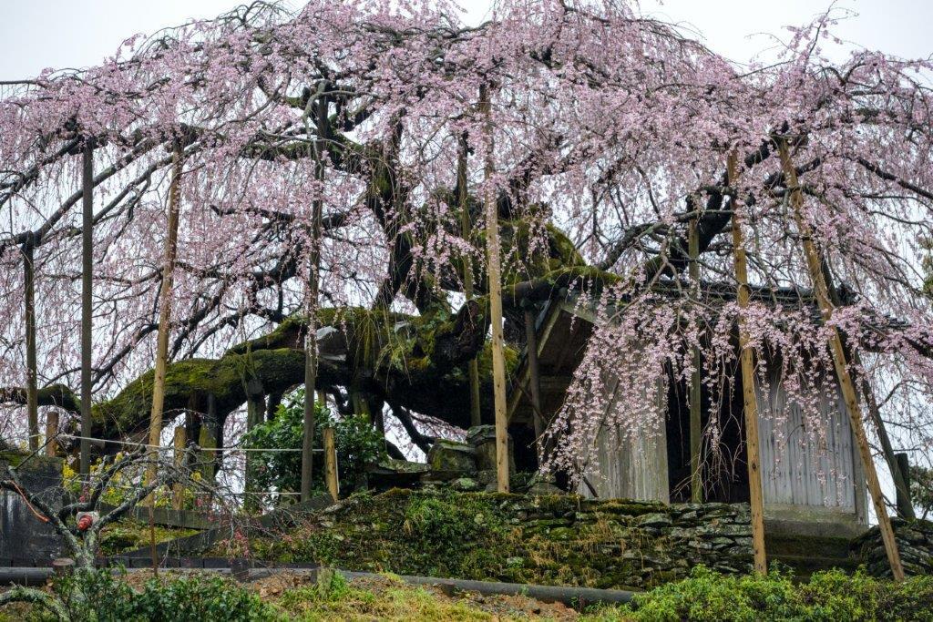 48 石畳のしだれ桜-2-1