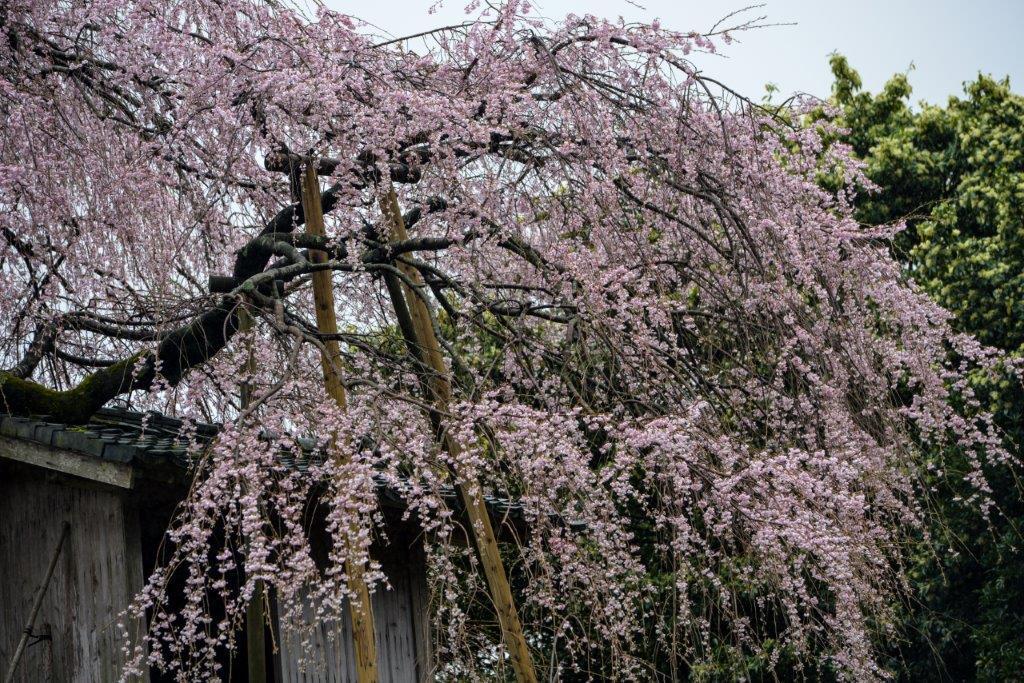 48 石畳のしだれ桜-3-1