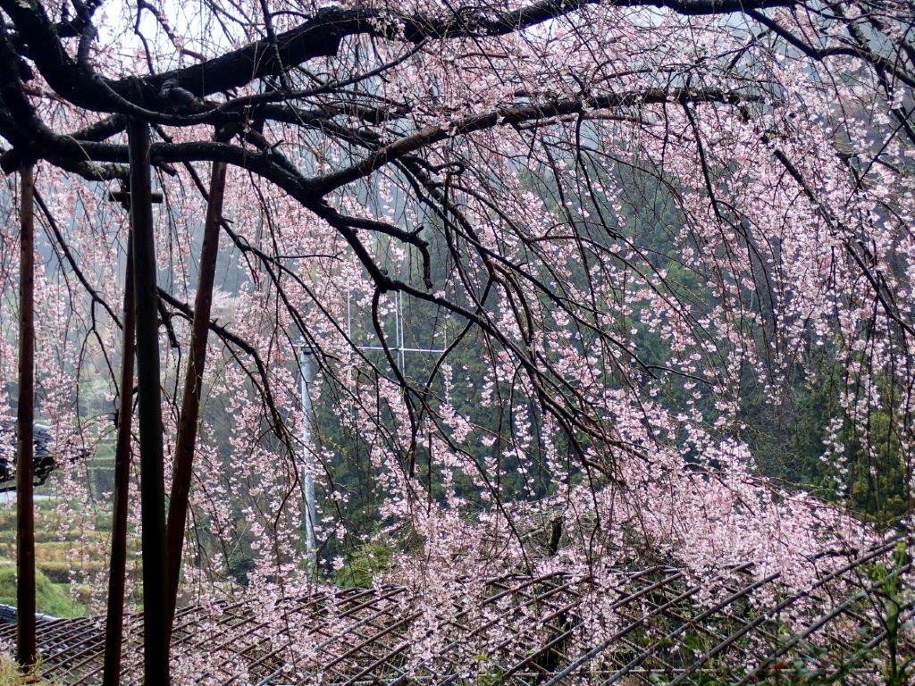 48 石畳のしだれ桜-4-1