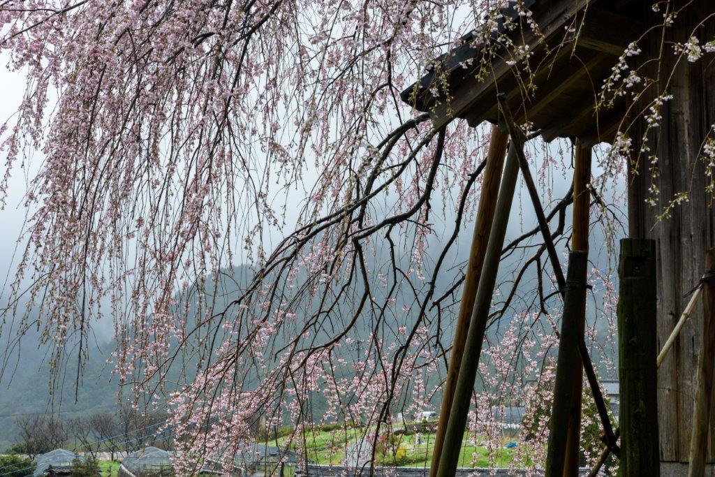 48 石畳のしだれ桜-5-1