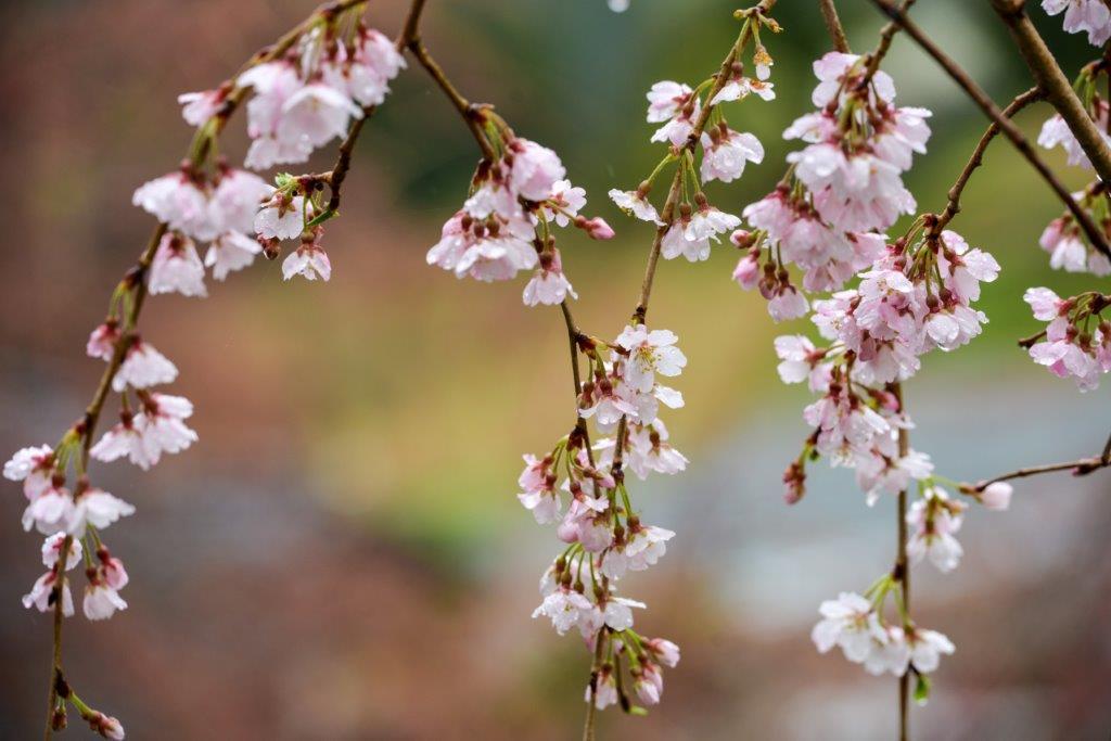 48 石畳のしだれ桜-6-1