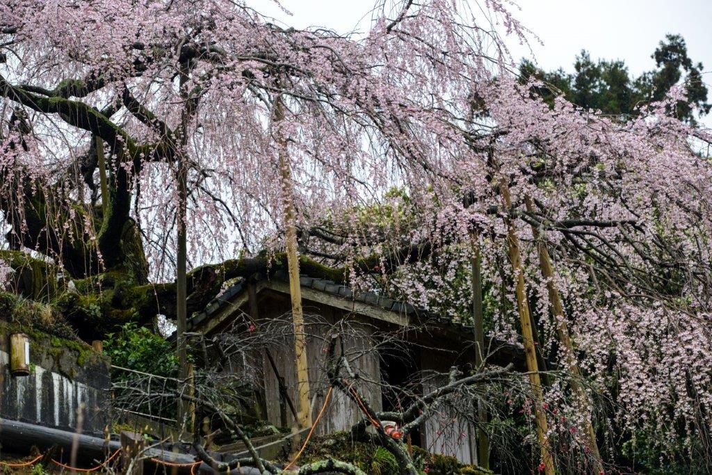 48 石畳のしだれ桜-7-1