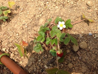 イチゴの花も