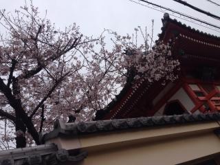西区にも風情のある桜が