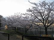 s-kitagawasakura.jpg