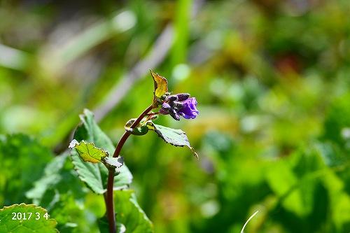 s-紫の花20170304