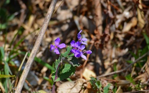 s-紫の花20170311