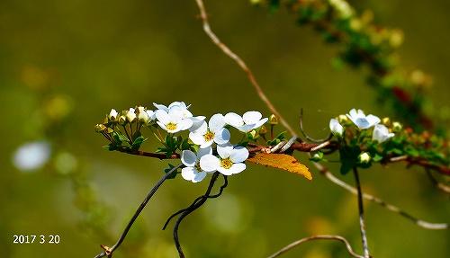 s-白い花20170320
