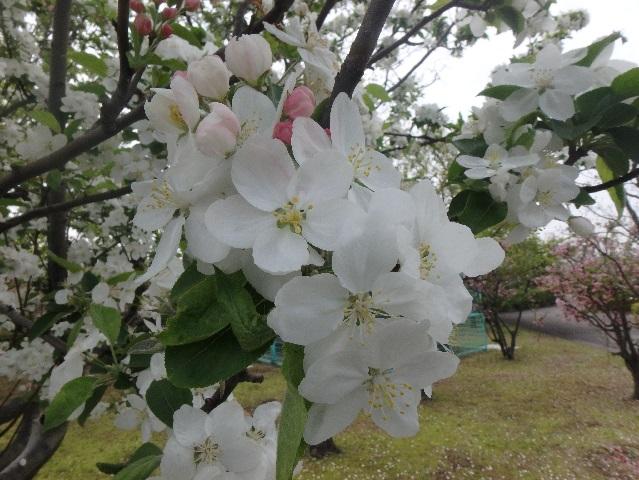 ヒメリンゴの花