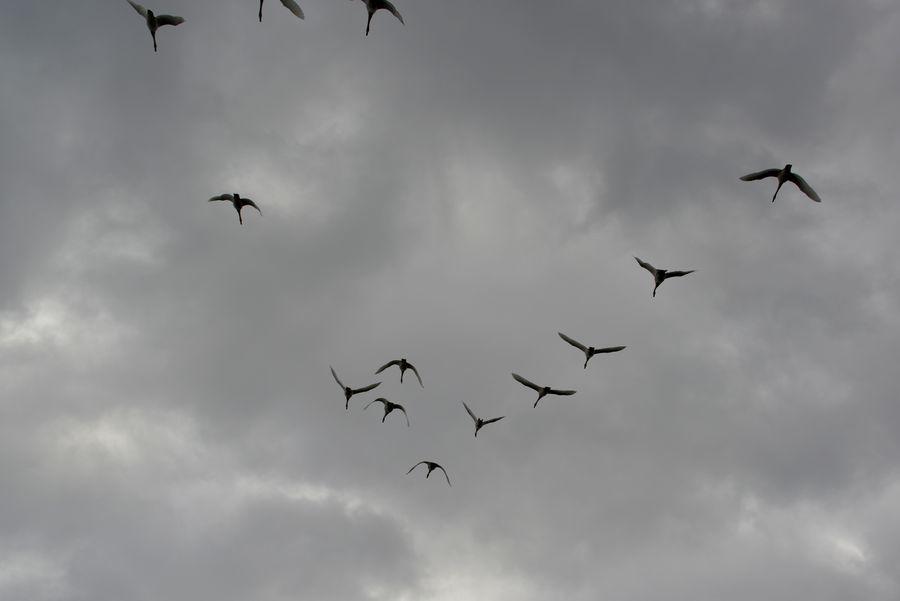 白鳥の編隊-1
