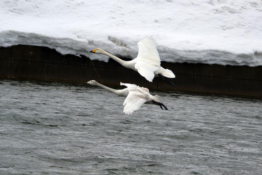 白鳥の編隊-4