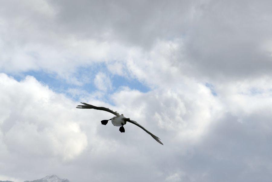 白鳥の編隊-5