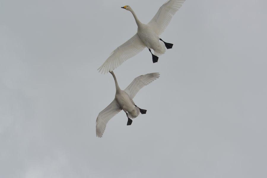 白鳥の編隊-6