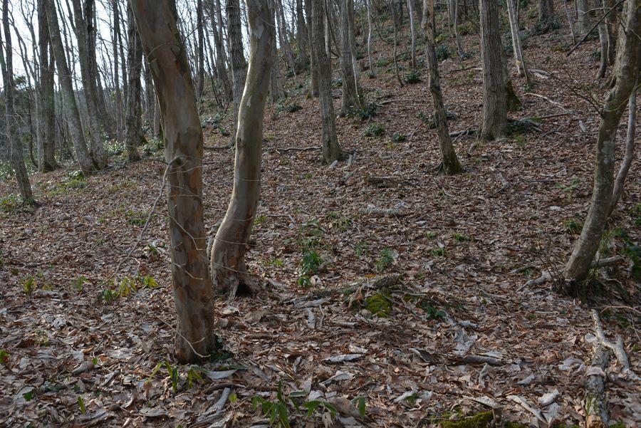 春を待つ 林-2