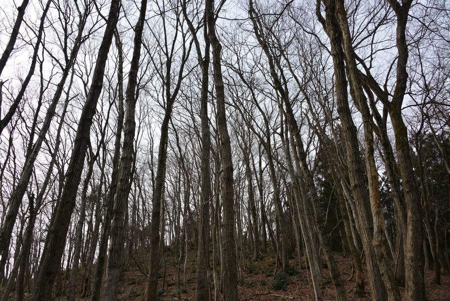 春を待つ 林-3