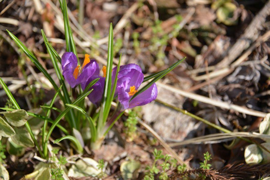 春を告げる花たち-4