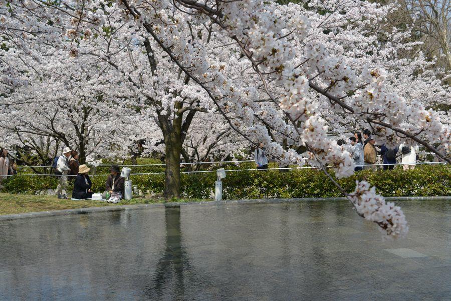 桜 白山公園-3