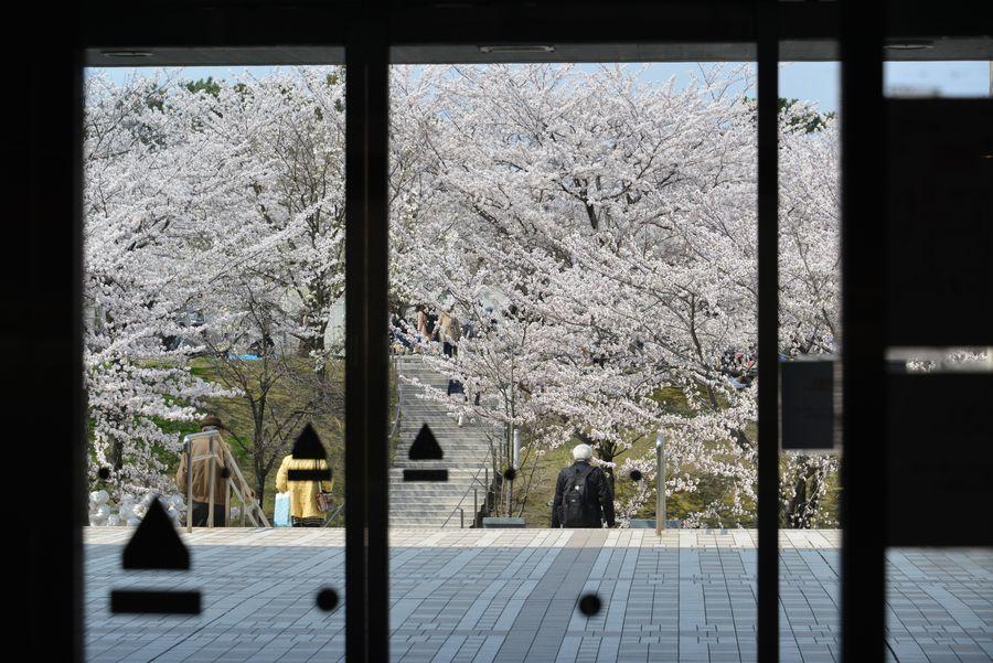 桜 白山公園-4