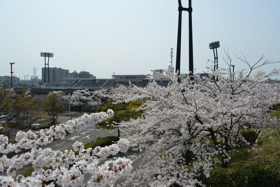 桜 白山公園-5