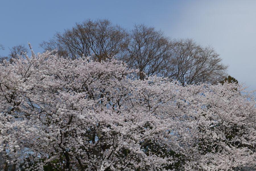 桜 弥彦麓-3