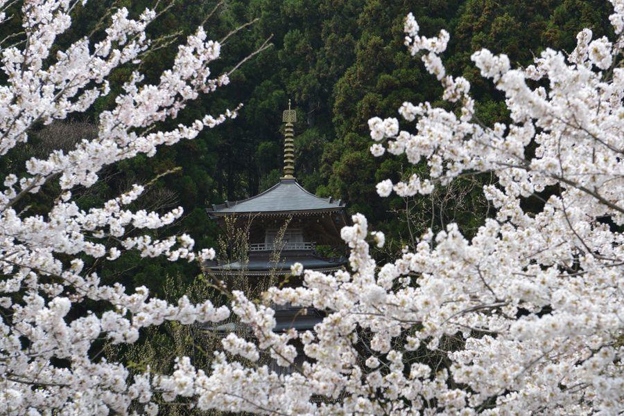 今日も桜-1