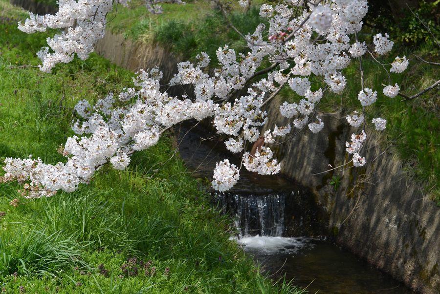 今日も桜-2