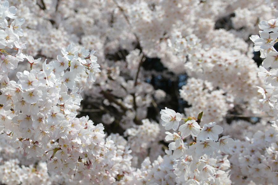 今日も桜-3