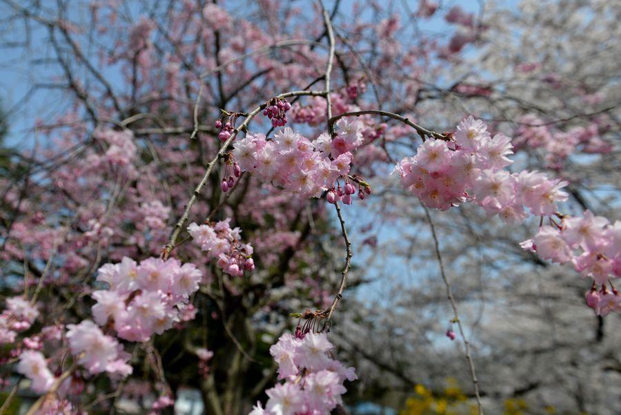 今日も桜-5