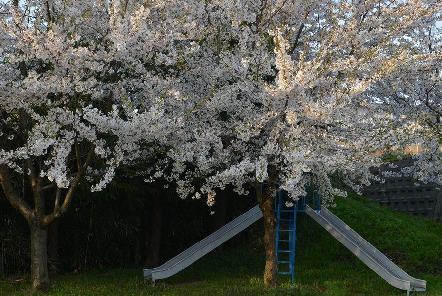 遊具のある公園と桜-1