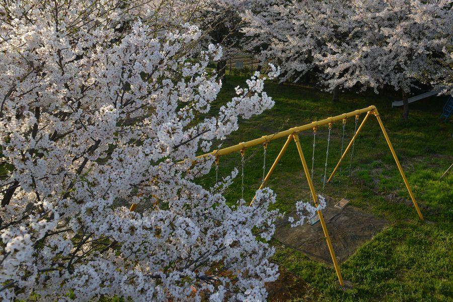 遊具のある公園と桜-3